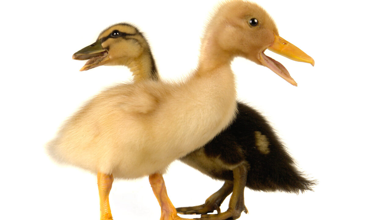 Find the Best Pet Duck Breed for You with These Top 10 Choices