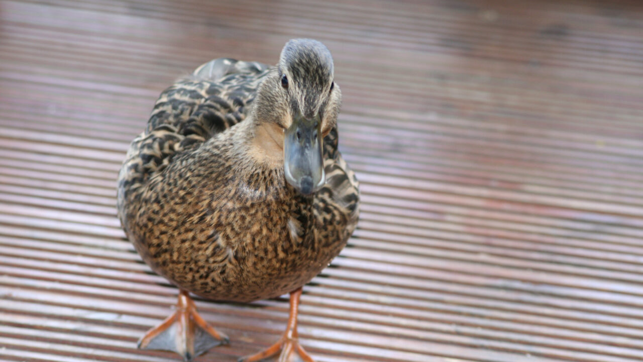 How Much Space Do Ducks Need? [SURPRISING TRUTH!]