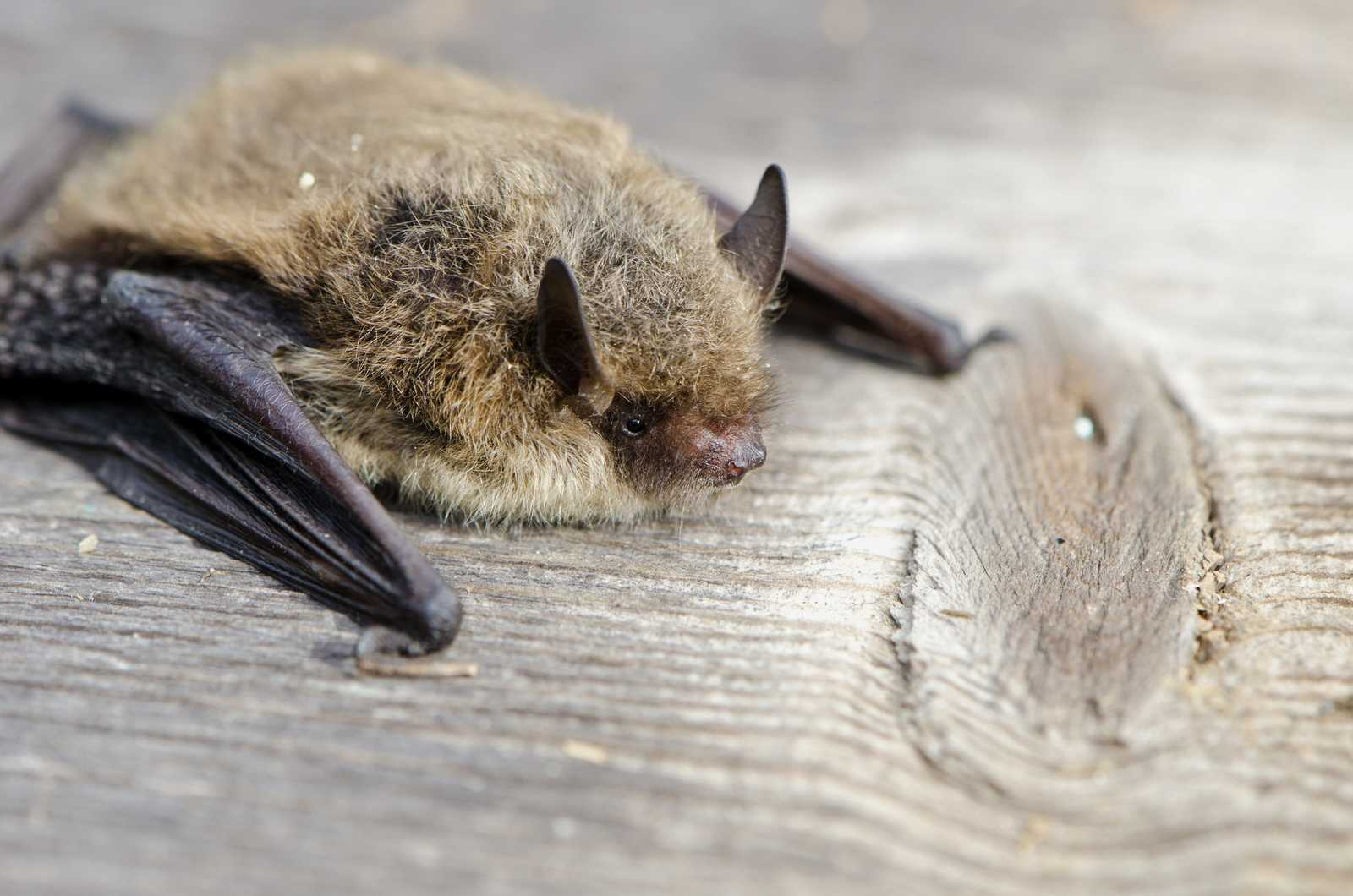 How do bats have babies?