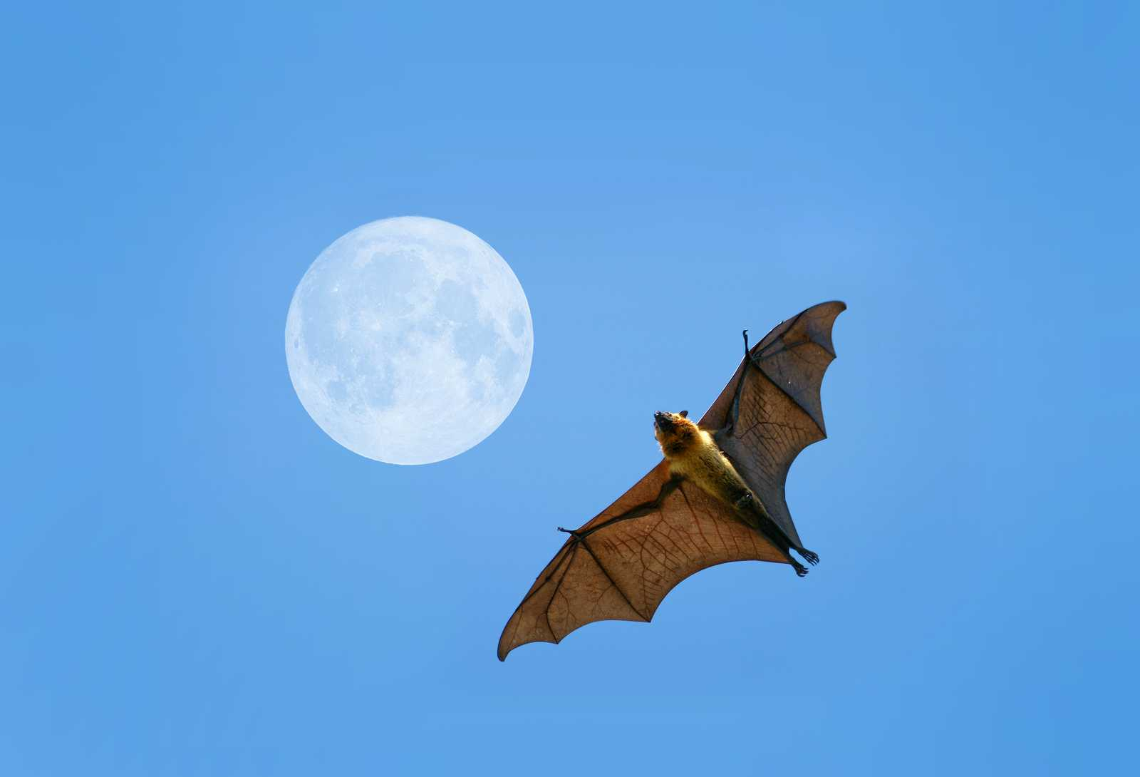 Do bats migrate or hibernate?