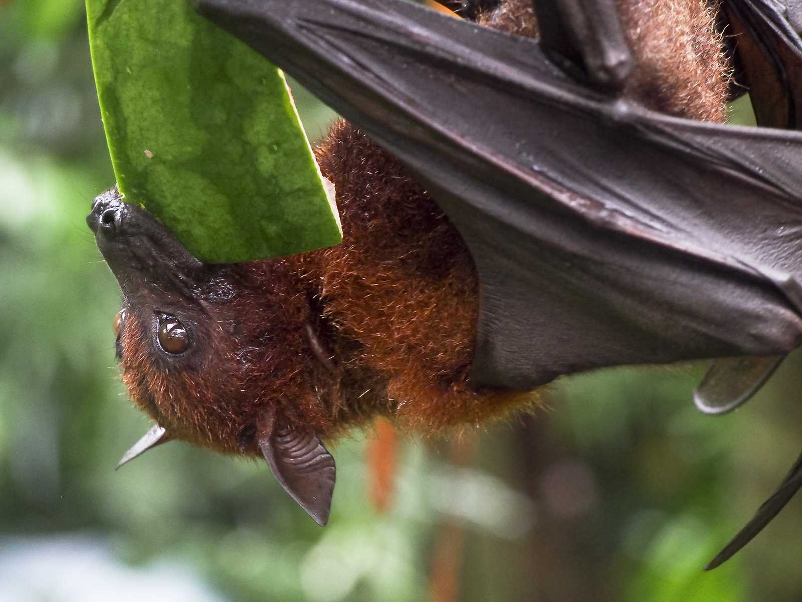 How long can bats go without food?
