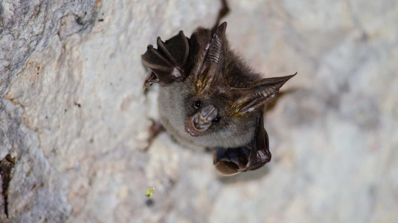 Can Bats Fly from the Ground? You May be Surprised!