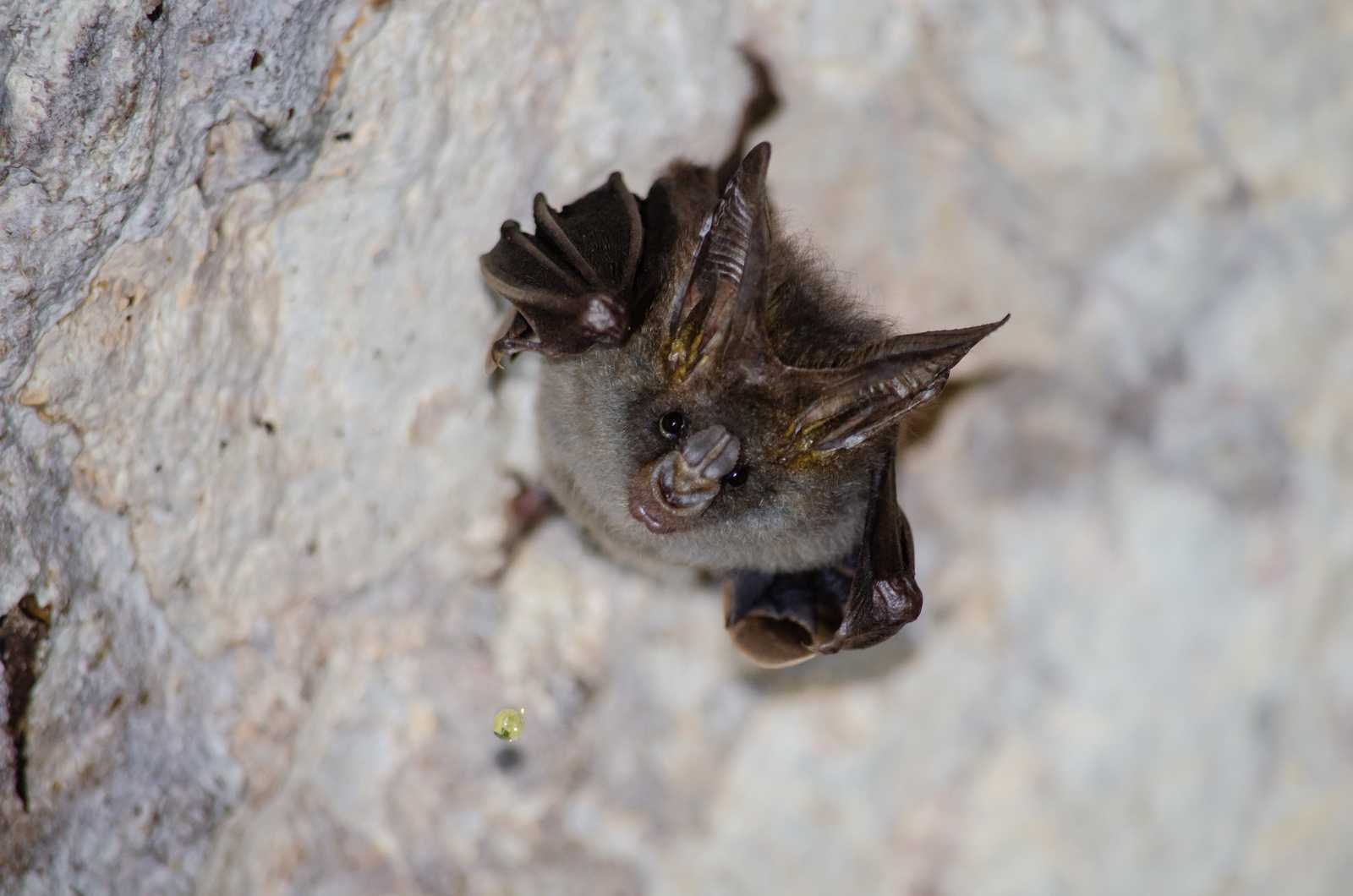 can bats fly from the ground?