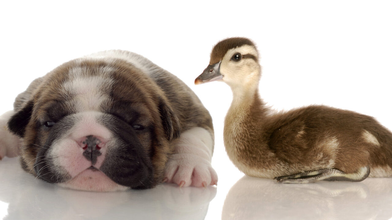Do Dogs and Ducks Get Along? [+ HOW YOU CAN HELP]