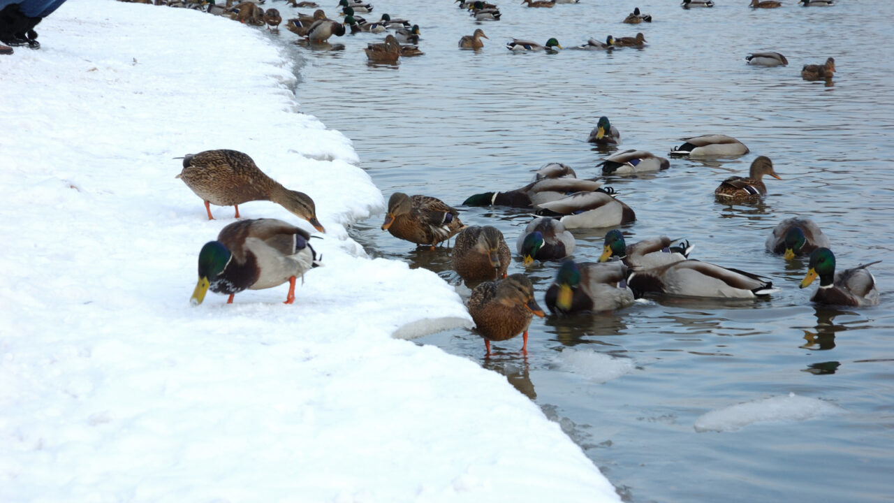 Need a Quiet Duck? Try these 5 Breeds…