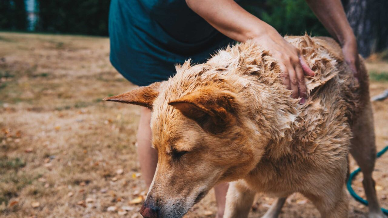 Do Dogs Need Conditioner?