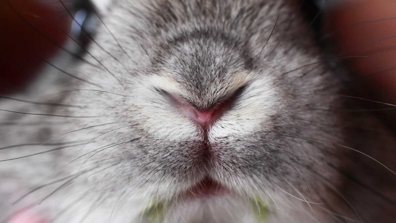 Why Do Rabbits' Noses Twitch? [4 REASONS]