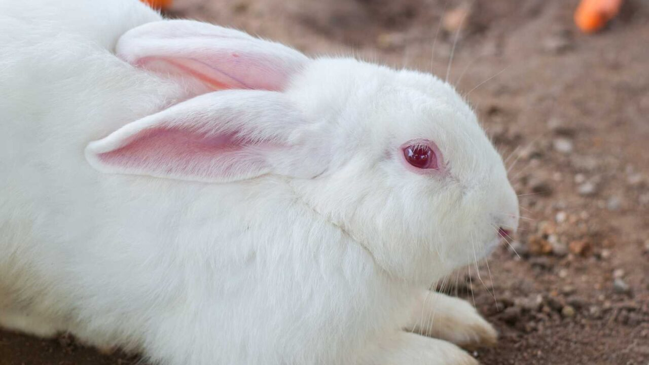 Why Do Rabbits Have Red Eyes?