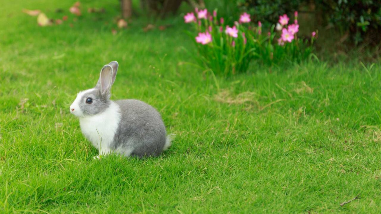 Why Do Rabbits Circle You? Does it Mean Anything?