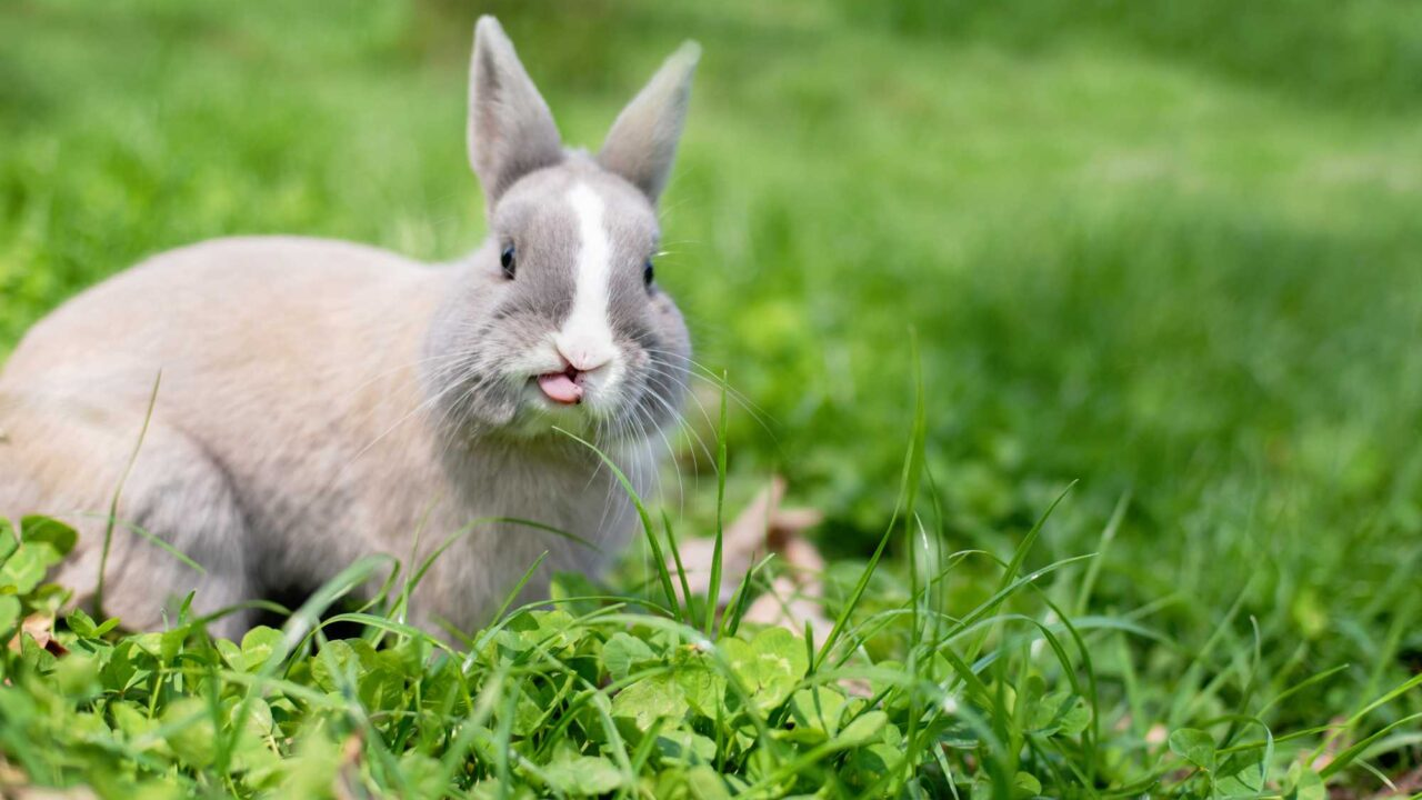 Why Do Rabbits Lick Things? And What Does It Mean?